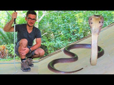 Giftige Schlangen in Thailand | Die  Monokel Kobra | Reptilien und Amphibien Folge 11