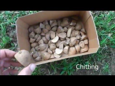 Planting Russet Potatoes