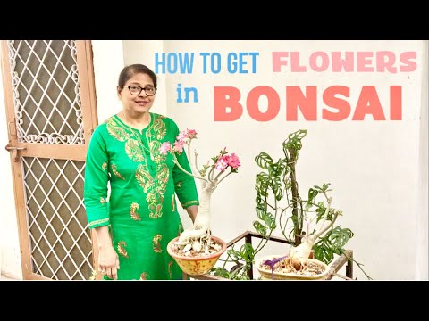 How to get more Flowers on Bonsai, Best fertilizer for Adenium to flower, complete care in 2018