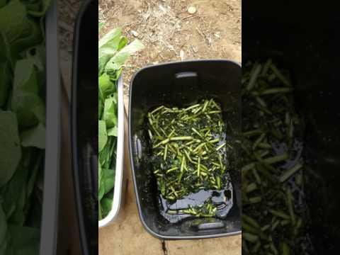 Comfrey Fermented Plant Juice