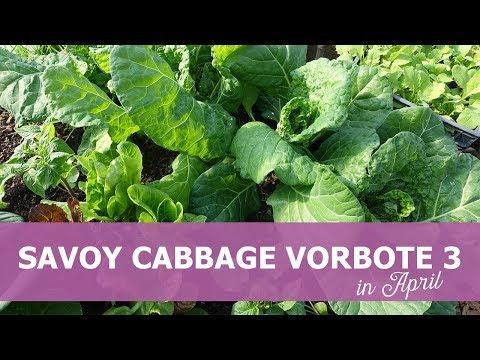 Savoy cabbage 'Vorbote 3' in April