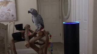 Alexa. All lights on. Petra the African Grey controls the Amazon Echo & turns lights on.