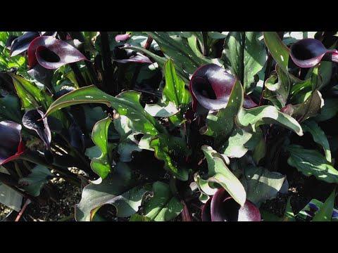 Grow a goth garden