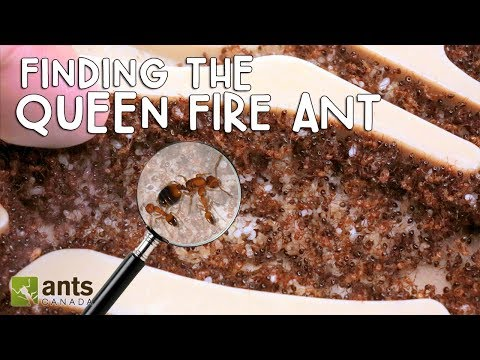 FINDING THE QUEEN FIRE ANT! PLEASE HELP!