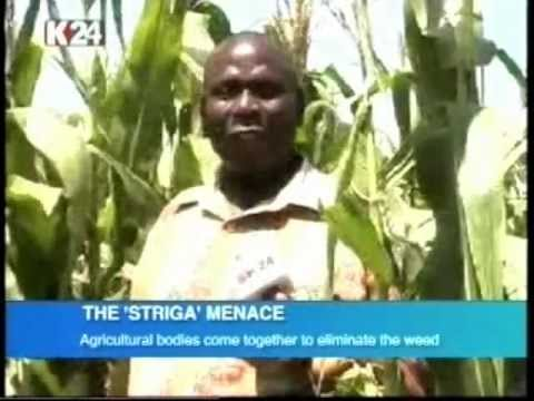 Agricultural bodies come together to eliminate striga weed