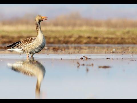 Greylag Goose. Couple in springtime. Anser anser.