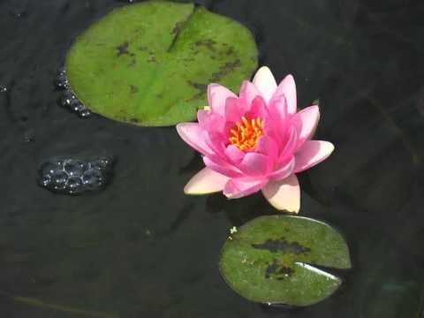 Time Lapse of Water Lily blooming