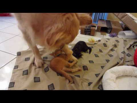 Orange Foster Kitten Attacking & Biting Big Dog's Paw & Leg - Patient Golden Retriever
