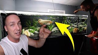 The arowana aquarium