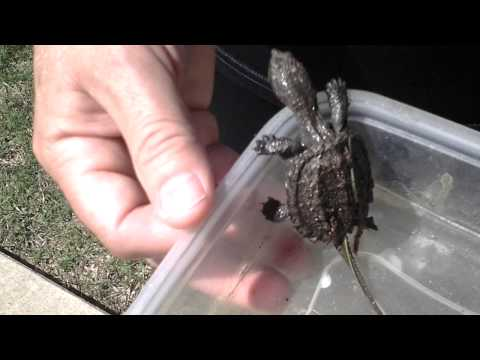 Letting go my pet baby alligator snapping turtle
