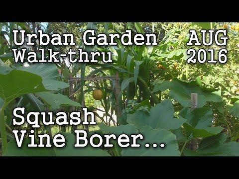 Battling Squash Vine Borer - 2016 Aug 6th Urban Garden & Edible Landscaping Walk-thru -Albopepper
