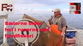 Fjordfiskeri efter rejer ved Guldborgsund med ruser - men sælerne æder dem