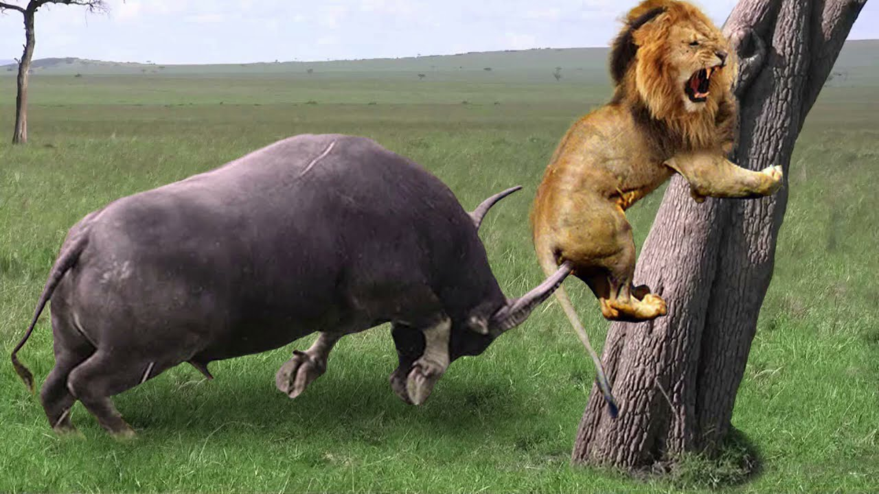 Lion Failed to Control Buffalo - Buffalo Herd Rescue Baby Buffalo From Lion – Wild Dogs vs Zebra