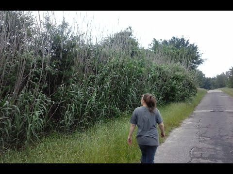 How to Collect and Grow Sugarcane.