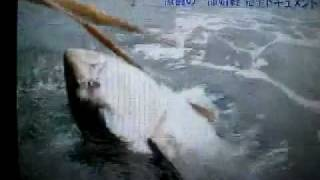 Giant Tuna Million Dollar -Tonno 325Kg