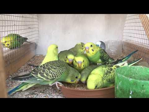 Baby Parakeet Feeding Frenzy