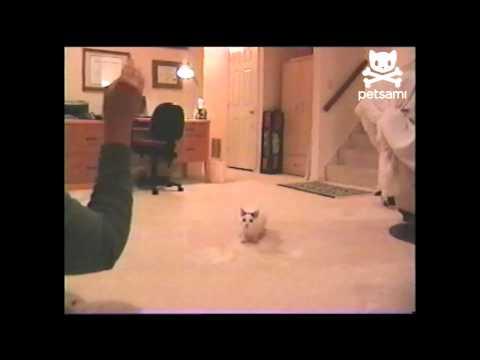 Acrobatic cat does amazing backflip