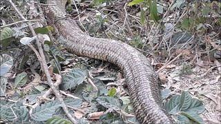 Giant Snake in Vietnam || ViralHog