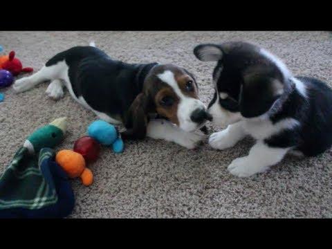 Corgi and Basset Hound Puppies Playing