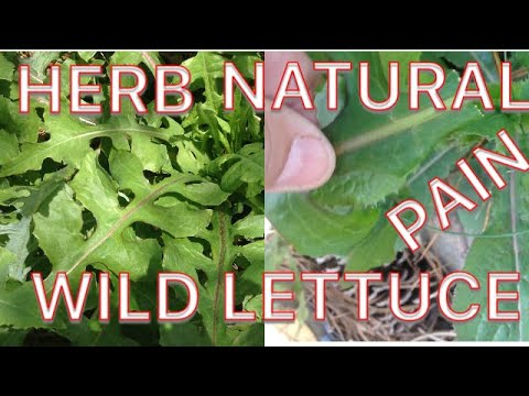 How to find wild lettuce and prepare it for use
