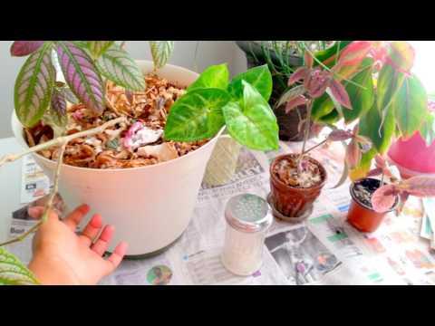 Eliminating gnats & fruit flies from houseplants! & Persian Shield Update 3