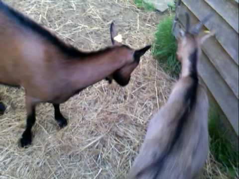 Doe goat gets bucky with yearling