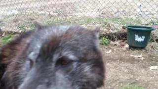 A very talkative wolfdog