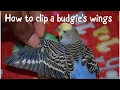 how to clip a parakeet/budgie's wings