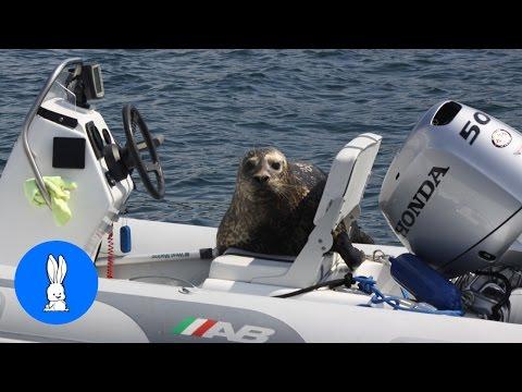 Seals Jumping into Boats Compilation