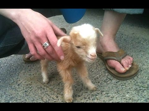Cute Baby Goats - A Cute And Funny Baby Goats Compilation || NEW HD