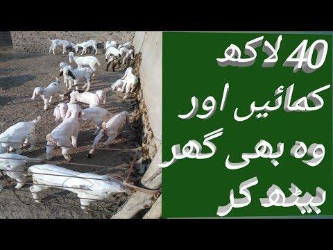 Download cute babies of goats | bakri farm mn choty bachon ko kis