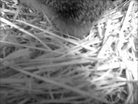 Hedgehog checks out box built for hibernation