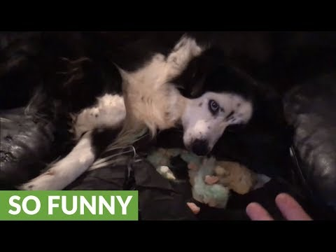 Guilty dog destroys couch, tries to hide it from owner