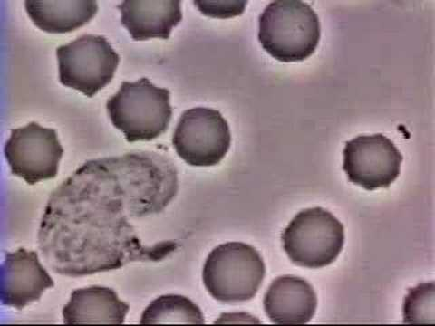 White Blood Cell Chases Bacteria