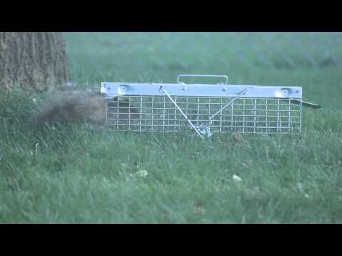 squirrel escapes the havahart trap