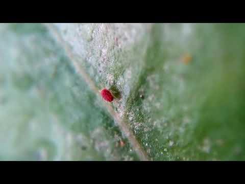 DIY closeup video of red spider mites using laser pointer Lens