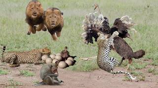 Discovery The Powerful of Ostrich! Ostrich Save Her Baby From Cheetah, Lion, Hyenas, Monkey, Human