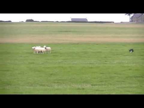 2014 World Sheepdog Trials Linka - (DRIVE)
