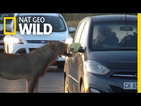 Curious Lion Bites Tourist's Car Door on Safari | Nat Geo Wild