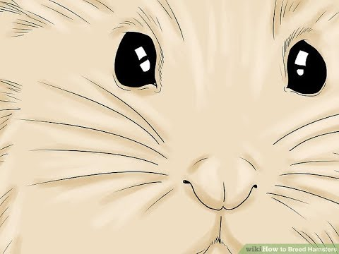 How To Breed Hamsters