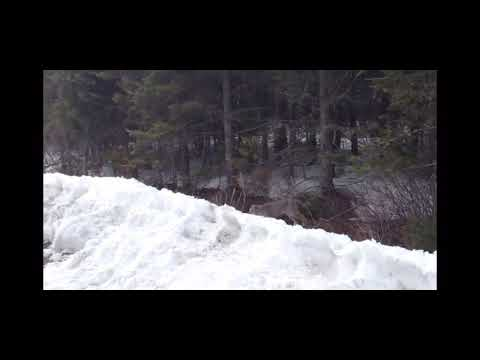Canadian Lynx in the Northern Maine Woods