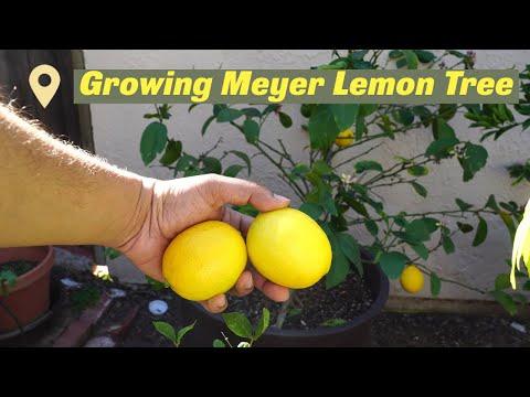 Growing Meyer Lemon In Containers - Best Lemons For Lemonade