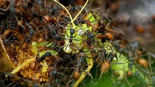 Army Ants Rampage Through The Forest  | The Hunt | BBC Earth