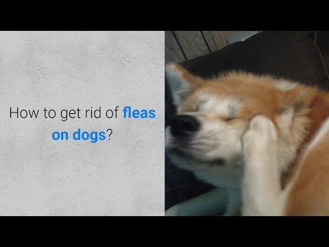 How To Get Rid Of Fleas On Dogs 5 Methods