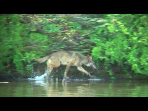Isle Royale wolves attacking moose