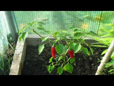 How to stop Pepper Flowers Falling off