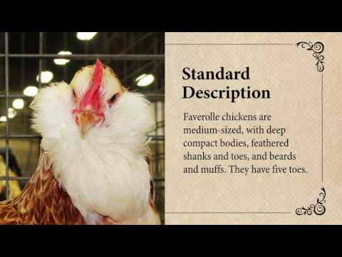 Faverolle Chicken: April Breed of the Month