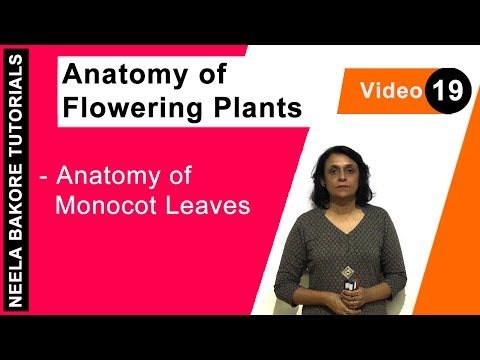Anatomy of Flowering Plants - Anatomy of Monocot Leaves