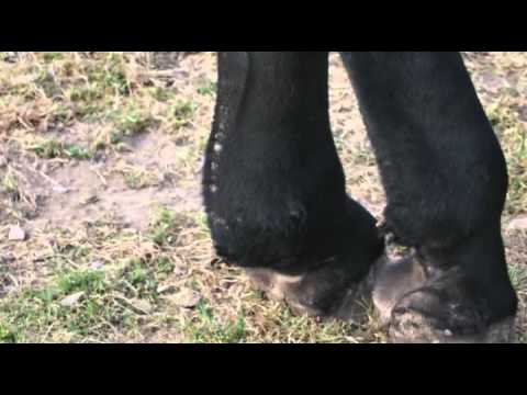Mites on Draft Horse - Mange/scratches/grease heel