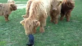 Banjo And The Cows